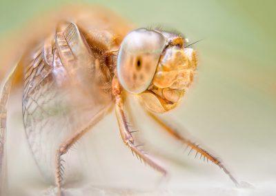 Libelle aus 59 Bildern f1,8 Schrittweite 2